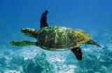 Reptile - Hawksbill Turtle - Eretmochelys imbricata - Similan Islands Marine Park Thailand (13).JPG