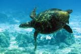 Reptile - Hawksbill Turtle - Eretmochelys imbricata - Similan Islands Marine Park Thailand (14).JPG