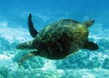 Reptile - Hawksbill Turtle - Eretmochelys imbricata - Similan Islands Marine Park Thailand (15).JPG