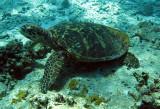 Reptile - Hawksbill Turtle - Eretmochelys imbricata - Similan Islands Marine Park Thailand (3).JPG