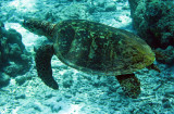 Reptile - Hawksbill Turtle - Eretmochelys imbricata - Similan Islands Marine Park Thailand (9).JPG