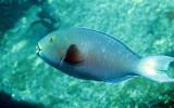 Scaridae - Scarus Species - Parrotbill species - Similan Islands Marine Park Thailand (1).JPG