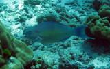 Scaridae - Scarus rubroviolaceus - Ember Parrotfish - Similan Islands Marine Park Thailand (1).JPG