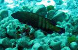 Serranidae - Cephalolophis argus - Peacock Rockcod - Similan Islands Marine Park Thailand (3).JPG