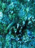 Serranidae - Cephalopholis boenack - Brown-banded Rockcod - Similan Islands Marine Park Thailand.JPG