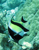 Zanclidae - Moorish Idol - Zanclus cornutus - Similan Islands Marine Park Thailand (4).JPG