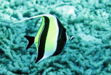 Zanclidae - Moorish Idol - Zanclus cornutus - Similan Islands Marine Park Thailand (5).JPG