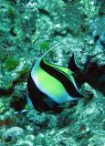 Zanclidae - Morish Idol - Zanclus cornutus - Similan Islands Marine Park Thailand (4).JPG