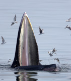 Bryde's Whales of The Gulf of Siam
