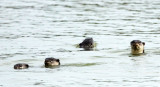 MUSTELID - OTTER - SMOOTH-COATED OTTER - KOK KHAM MACHACHAI - SALT PONDS - NEAR BANGKOK THAILAND (2).jpg