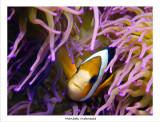 Clarks Anemonefish.jpg