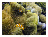 False Clownfish and anemone.jpg