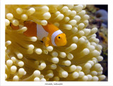 False Clownfish.jpg