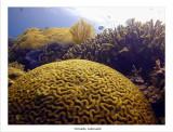 brain coral.jpg