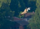 Griffon Vulture - Gåsgam