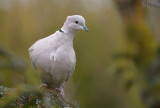 Collared Dove - Turkduva