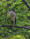 Natthäger - Black-crowned Night-heron