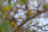 Taigasångare - Yellow-browed Warbler