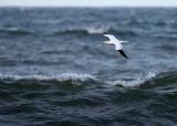 Havssula - Northern Gannet