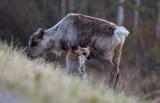 Ren med kalv