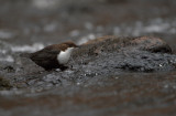 Strömstare - White-throated Dipper
