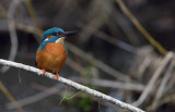 Kungsfiskare (Alcedo attis) - Common Kingfisher