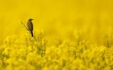 Gulärla - Yellow Wagtail (Motacilla flava flava)