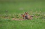 Räv - Red Fox