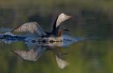Smålom - Red-throated Diver