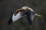 Glada (Milvus milvus) - Red Kite