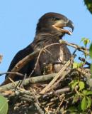 Eaglet_6868.jpg
