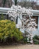 Blooming Magnolia Tree_.JPG