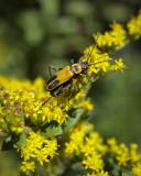 X-rated Beetles .jpg