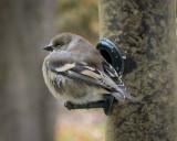 Winter goldfinch.jpg