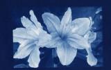 Cyanotype Lilies.jpg