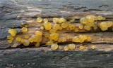 Oranje druppelzwam (Dacrymyces stillatus)