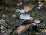 Blauwgrijze schorsmycena (Mycena pseudocorticola)