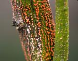 Gewoon meniezwammetje (Nectria cinnabarina)