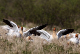 Landing Amongst Friends - Cap Tourmente Greater Snow Geese