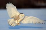 Snowy Owl - Morning Arrival