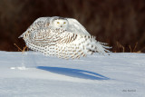 Snowy Owl - Ultimate Extension
