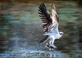 Balbuzard pêcheur - Huile 20 x 28
