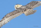 Snowy Owl - Quit Tailing Me!
