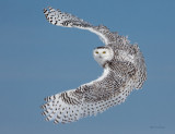 Snowy Owl - Happy New Year