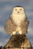 Snowy Owl - Post-It