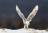 Snowy Owl - Cloudy Day Delight