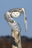 Snowy Owl - Picket Projectile