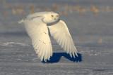 Snowy Owl - The Elusive White Knight