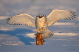 Snowy Owl - I'll Soon Have No Place To Perch!