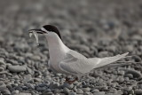 Whtie Fronted Tern